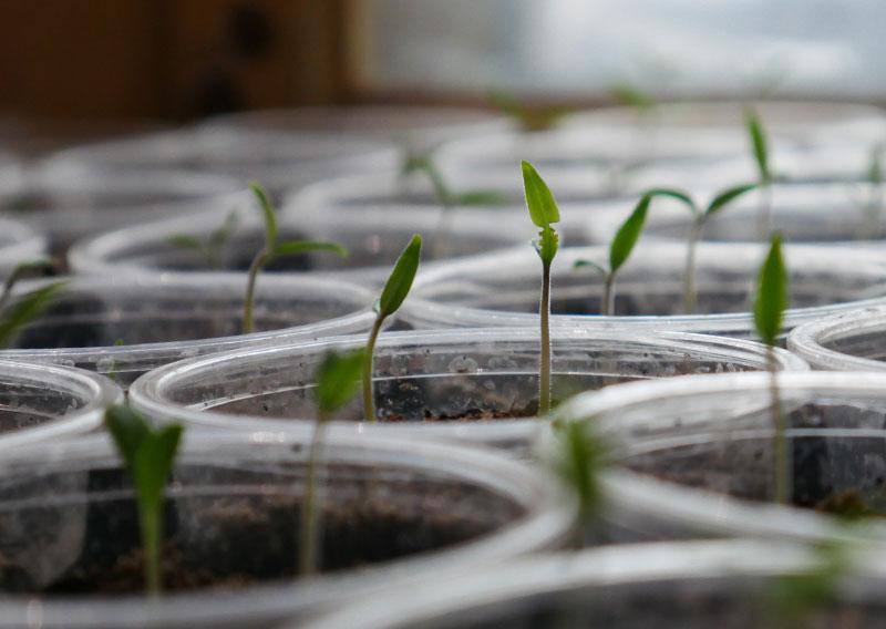 gerdening-tomato-seeds